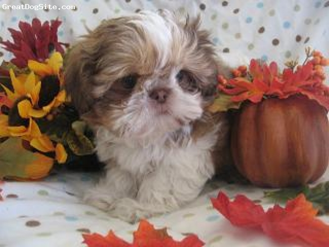 Shih Tzu, nine weeks, reddish liver and white, He is a super cute small little boy pure bred shihtzu puppy.