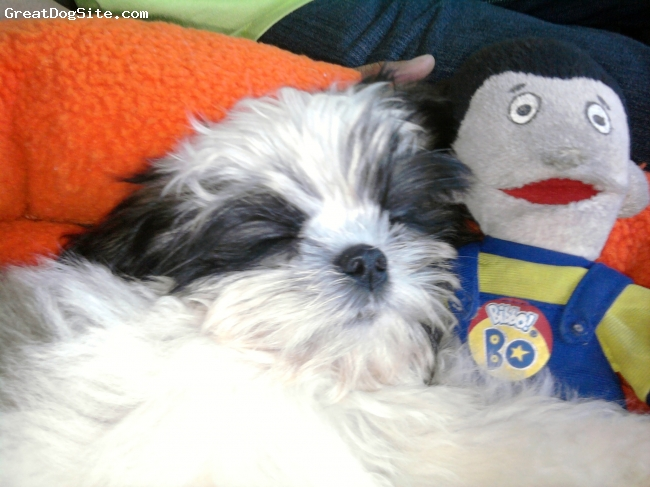 Shih Tzu, 3 months, white,black and brown, very sweet and loving;