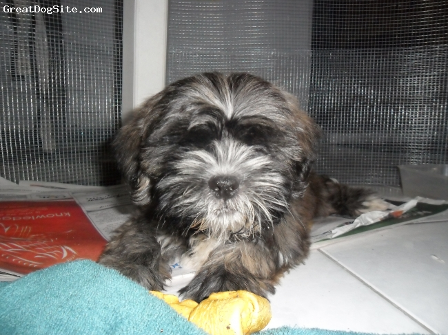 Shih Tzu, 5 months, Ash, Very playful, tiny but mighty & has the heart of a warrior