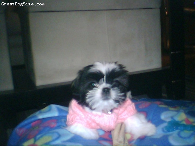 Shih Tzu, 14 weeks, multi, She is cute, cuddly and a big baby