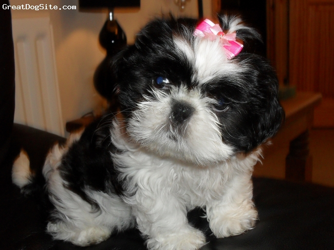 Shih Tzu, 11 weeks old, black and white, Maisy loves her wee bows x