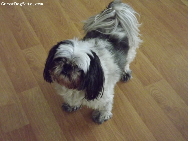 Shih Tzu, 7, Black/White, Adorable lap dog