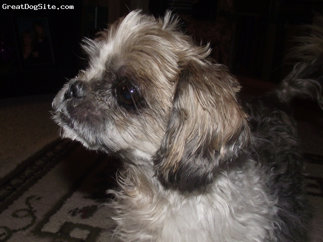 Shih Tzu, 10, brown and white, This is my Grandma`s old ugly and cranky Shih Tzu, Holly.