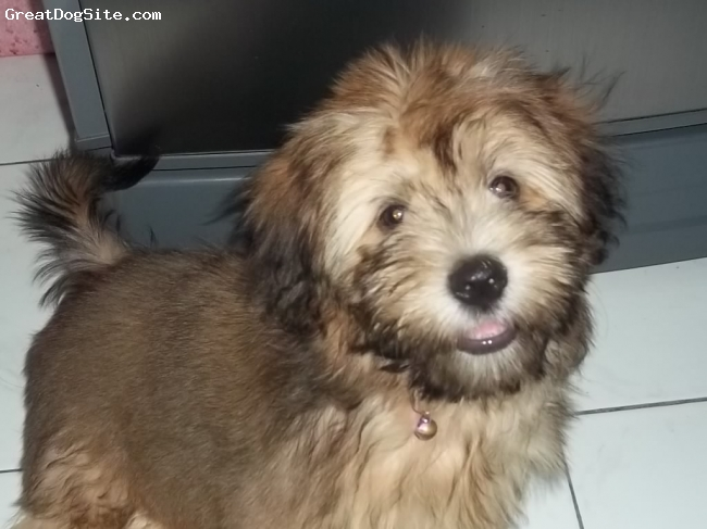 Shih Tzu, 4 mos., brown black, beautifulllllllllllllllllllllll....