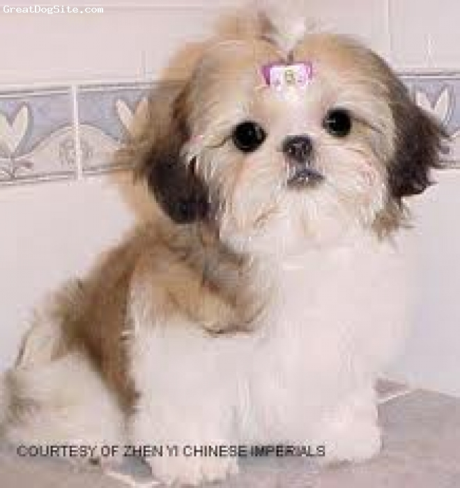 Shih Tzu, 2, white and cream, cute