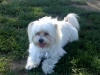 Shih-Mo, 2, White w/ Tan markings