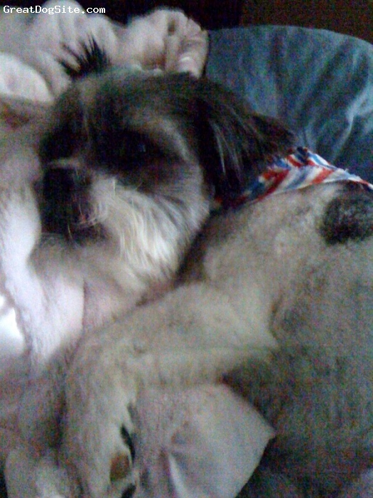 Shih-Mo, 3, Mixed, My little guy sleeping