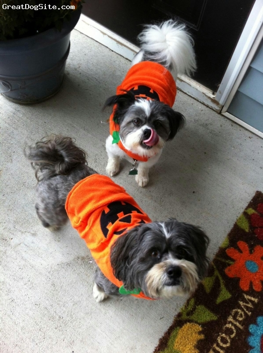 Shih-Mo, 5 years, Mixed, Oliver with Lhasa girlfriend.