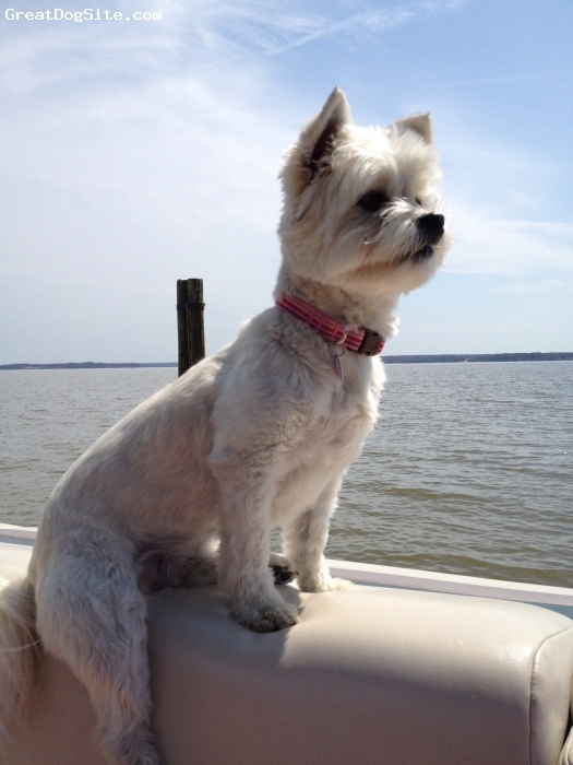 Shih-Mo, 3, White, Spoiled rotten, loyal, very energetic , loves to play tug-a-war, surfs on her surf board and loves spending time on our boat