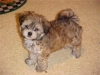 ShihPoo, Not Specified, cream
