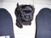 ShihPoo, 10 weeks, Black