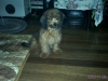 ShihPoo, 4 months, light brown,golden brown,grey, black