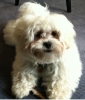 ShihPoo, 1 year, white