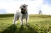 ShihPoo, 2 years, White