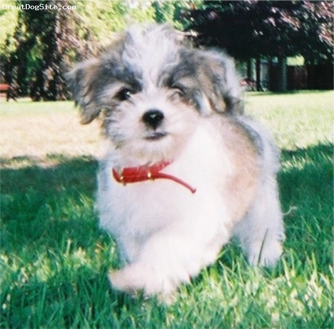 ShihPoo, Not Specified, cream, cute