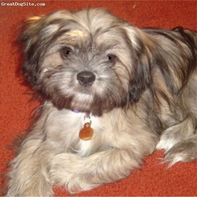 ShihPoo, Not Specified, cream, great