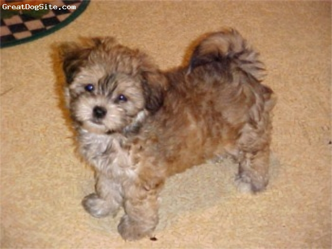 ShihPoo, Not Specified, cream, hey bud