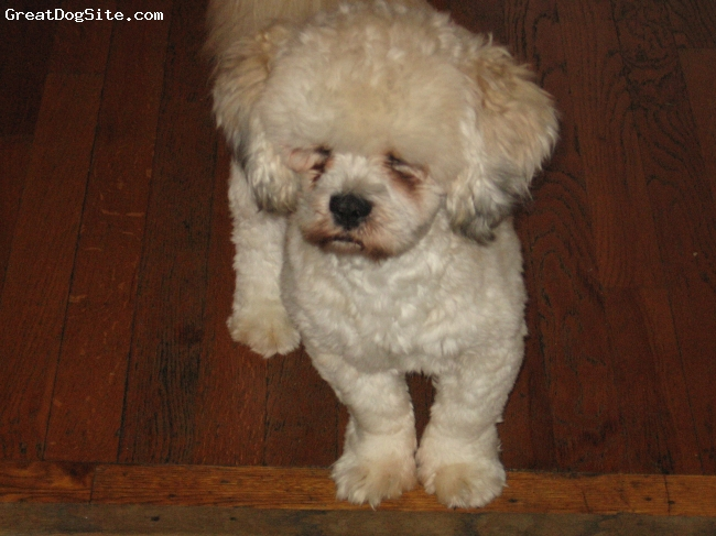 ShihPoo, 2 years, white, is very playful and very sociable