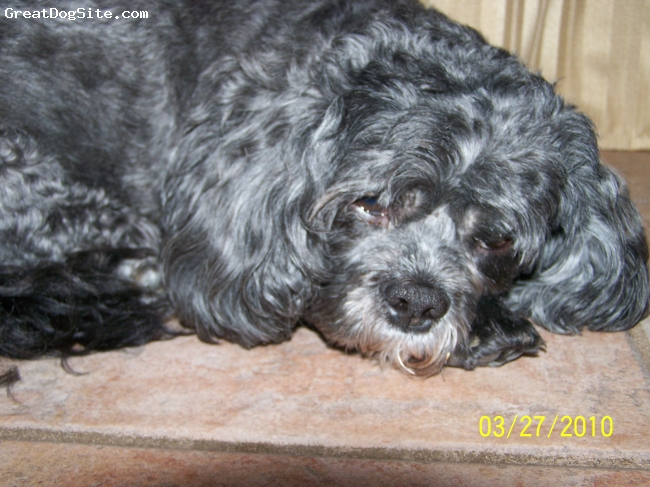 ShihPoo, 8 years, Black and white, Mojo's hobbies are sleeping and eating. He's a timid and gentle dog. He's also loving. He rarely barks or demands much attention but he does try to communicate with grunts and sneezes. He doesn't like exercise and he can be extremely stubborn about it. Mojo does not require a fence or a leash. this dog is the ultimate homebody and the dog equivalent of a couch potato. he would make a wonderful companion for someone who is inactive as he loves to sit around and cuddle.