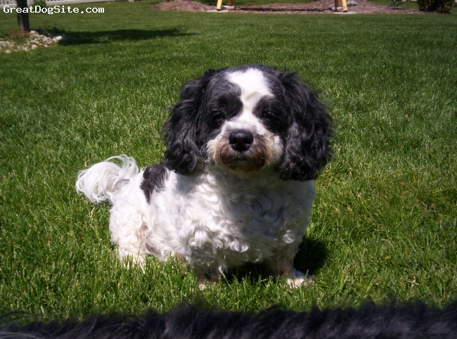 ShihPoo, 5, white and black, Baba is a female. She is a loving, affectionate animal. Very affectionate. She is a fantastic baseball player. She chases the ball for hours sometimes catching the ball in midair. She sometimes tries to speak and it sounds like she singing.