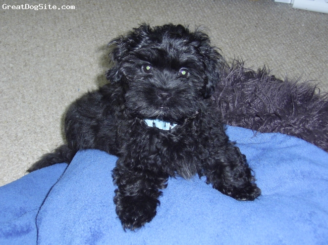 ShihPoo, 16 wks, Black, We have owned max since he was 7 weeks old and he has been the best choice ever, he's so affectionate and we love him to bits!!