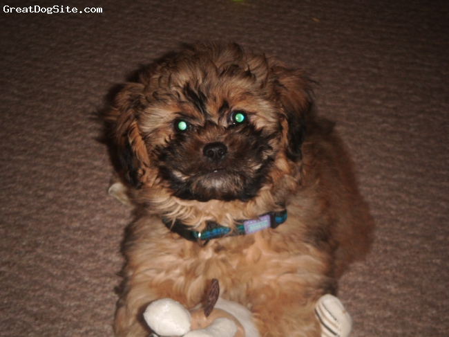 ShihPoo, 11 weeks, sandy, This is my gorgeous little puppy..........He is such an adorable bundle of fluff!!