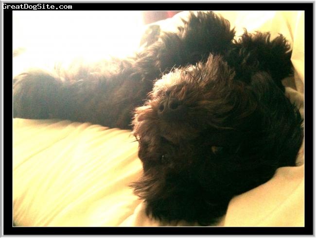 ShihPoo, 2, black, a totally ruckus but a heartbreaker