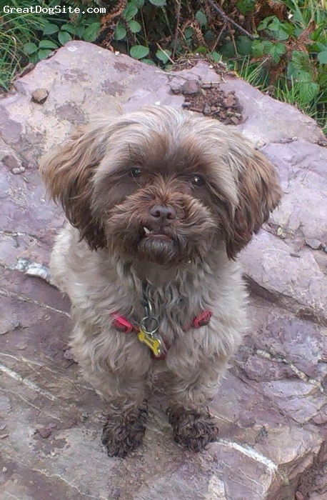 ShihPoo, 2, Chocolate, C.J is a 2 year old ShihPoo. I have had her since she was 8 weeks old. She loves to walk, do agility and play with Tom the cat. Her favourite thing to do is curl up on your lap and go to sleep.