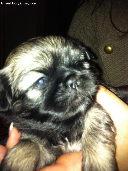 Shinese, 6 weeks, Black/ Grey, This is a Shinese dog at 6 weeks old named Bernard.