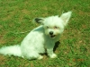 Shiranian, 3yrs, white brownish ear