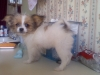 Shiranian, 8 months, gold and white
