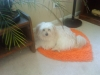Shiranian, 1 yr, White/Yellow mixture