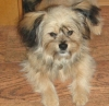 Shiranian, 11 months, sable