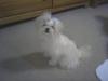 Shiranian, 7 months, white