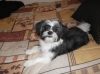 Shiranian, 6 months, black and white