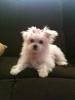 Shiranian, 4 months, White