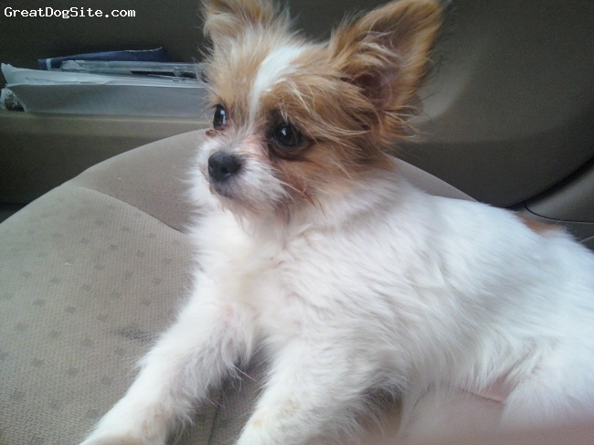Shiranian, 8 months, gold and white, this is a shih tzu pom cross. she is a shiranian and the light of my eyes ! very affectionate and loves babies. she is not scared of anything.