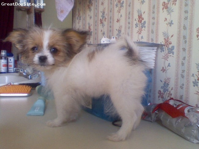 Shiranian, 8 months, gold and white, three lbs, and such a lovely baby:)
