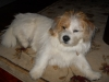 Shorgi, 9 Months, White/ tan/ brown