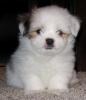 Shorkie, 8 weeks, white