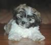 Shorkie, 3 months, white