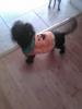 Shorkie, 6 months, black
