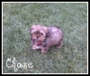 Shorkie, 3 1/2 months, wheaton