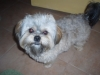 Shorkie, 1 year, grey, copper, black, white, all around cute!