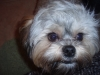 Shorkie, 1, black, grey, white, and copper