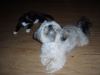 Shorkie, 1 year, grey, black white and copper