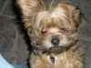 Shorkie, 6 months, Light and dark brown