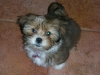 Shorkie, 14wks, Party