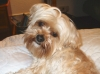Shorkie, 3 1/2 yrs, Blonde