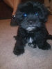 Shorkie, 9 weeks, black